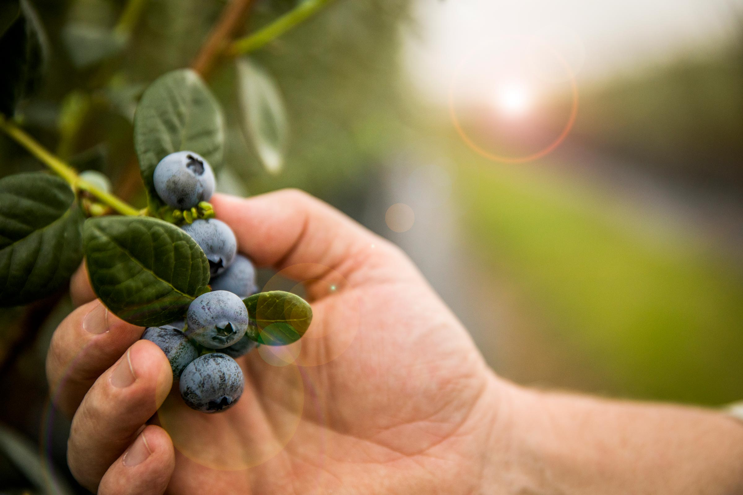 close up of hand picking blueberries